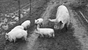 regula-ysewijn-pig-course-4