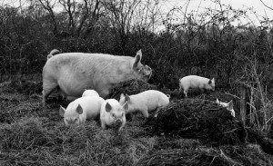 regula-ysewijn-pig-rearing-8-2