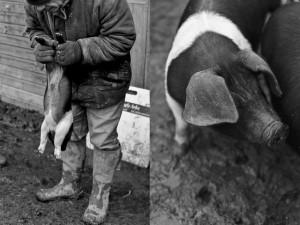 regula-ysewijn-pig-rearing-B