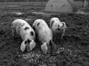 regula-ysewijn-pig-rearing-14